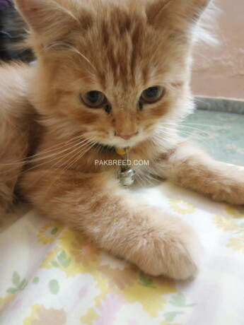 golden-triple-coated-kitten-male-available-on-best-price-big-3