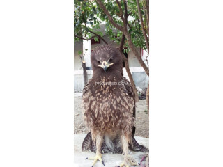 Steppe eagle is for sale