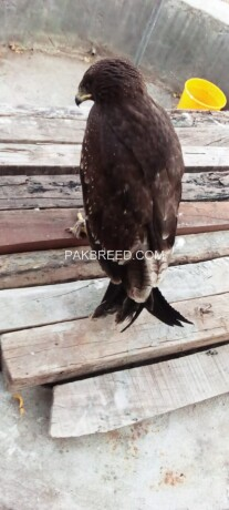 steppe-eagle-is-for-sale-big-3