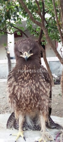 steppe-eagle-is-for-sale-big-0