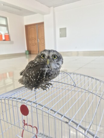 owl-for-sale-big-0