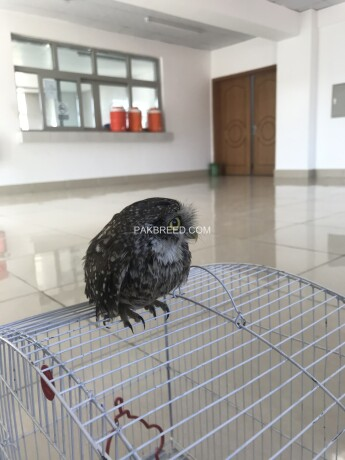 owl-for-sale-big-3