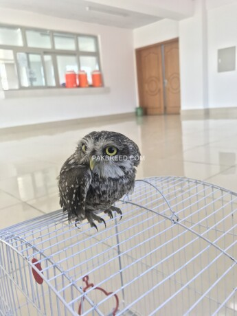 owl-for-sale-big-2