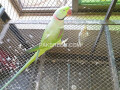parrots-for-sale-small-0