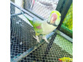 parrots-for-sale-small-1