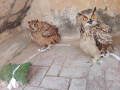 eurasian-eagle-owl-pair-small-1