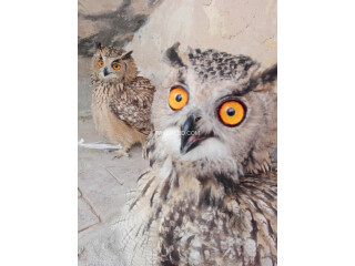 Eurasian eagle owl pair