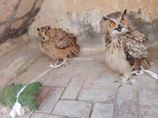 eurasian-eagle-owl-pair-big-1