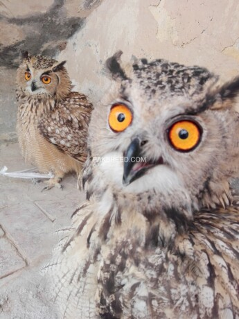eurasian-eagle-owl-pair-big-0