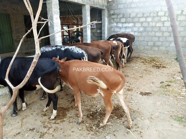 cows-for-sale-big-4