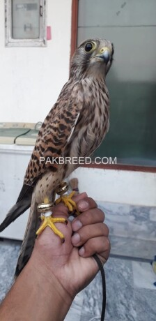 kastral-falcon-male-and-female-big-0