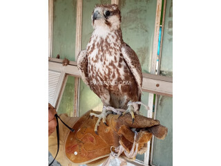 Larger falcon female