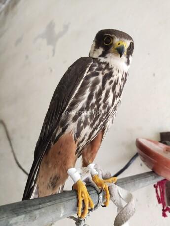 hobby-falcon-big-2