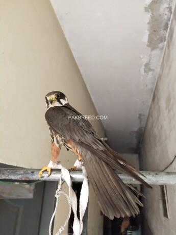 hobby-falcon-big-1