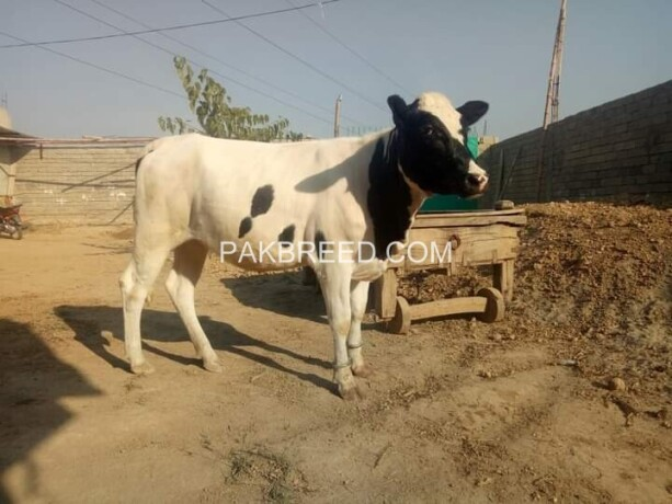 cow-big-1