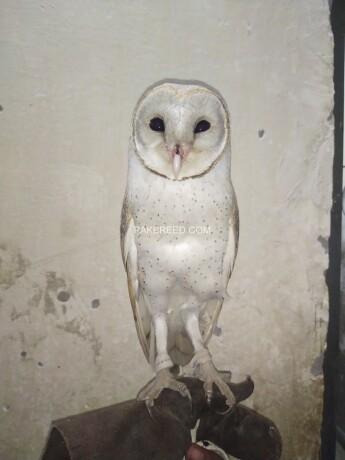 owl-big-4