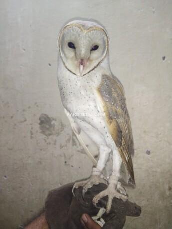 owl-big-2