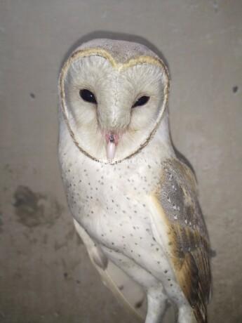 owl-big-0