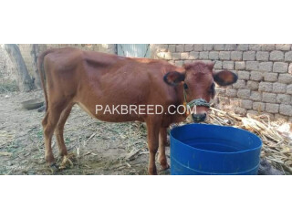 Cow jersey for sale