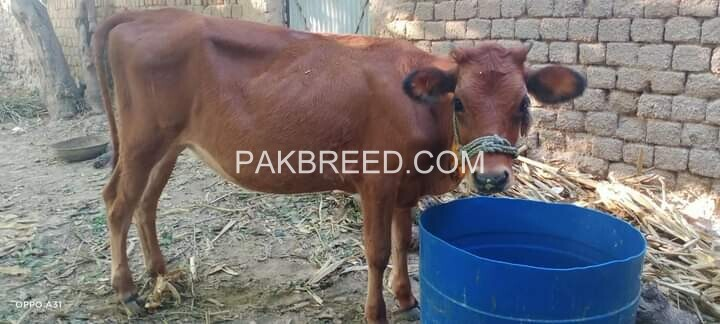 cow-jersey-for-sale-big-0