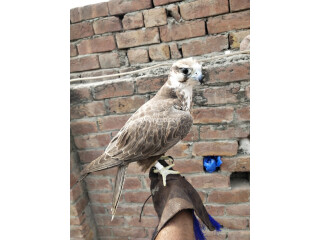 Falcon female