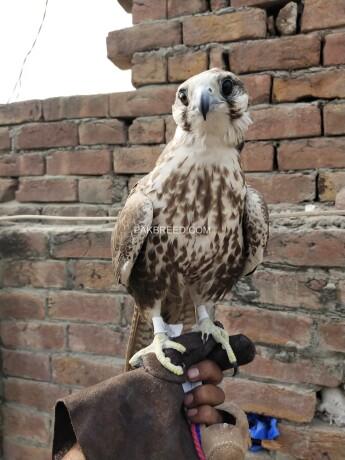 falcon-female-big-1