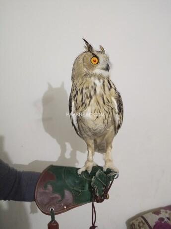 eagle-owl-big-3