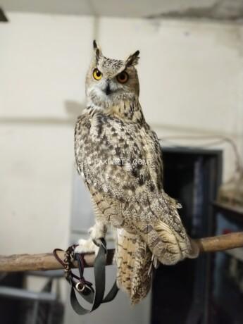eagle-owl-big-0