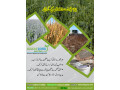 chia-cultivation-seeds-small-3