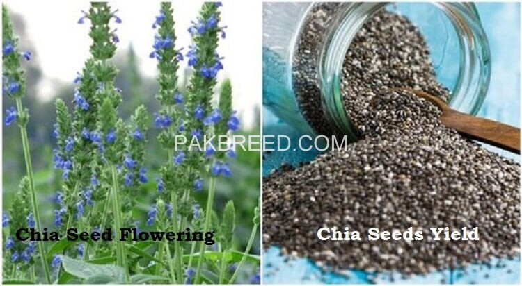 chia-cultivation-seeds-big-0