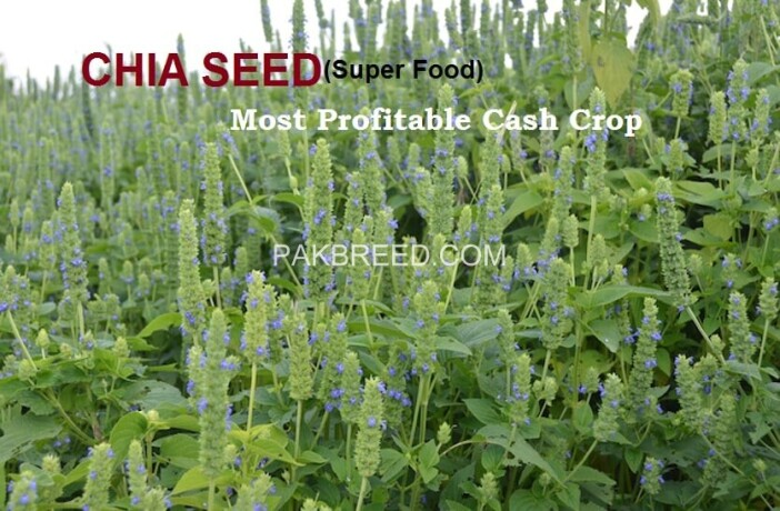 chia-cultivation-seeds-big-4
