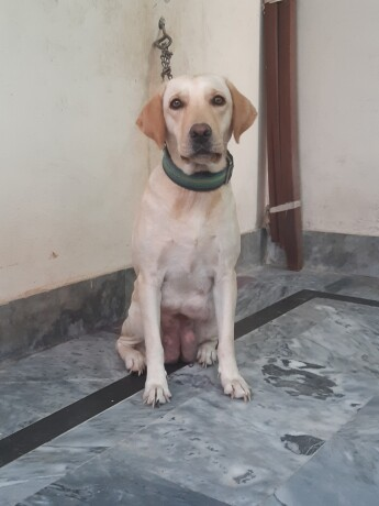female-labrador-big-2