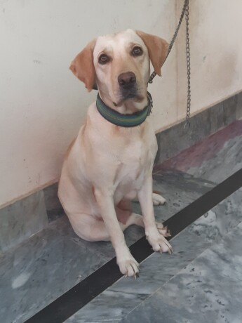 female-labrador-big-1