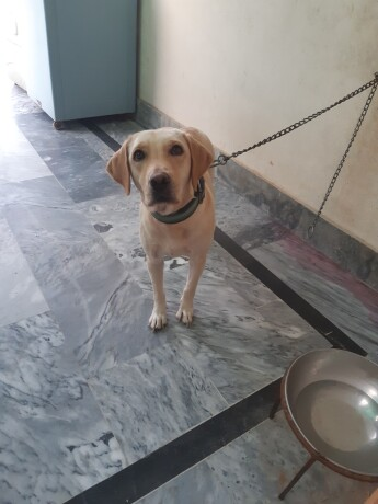 female-labrador-big-0