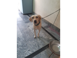 Offwhite female labrador for sale