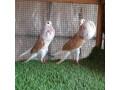 pigeon-small-1