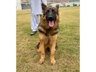 Female German shepherd long coat