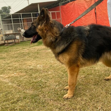 female-german-shepherd-long-coat-big-3
