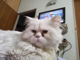 Punch face Persian cat