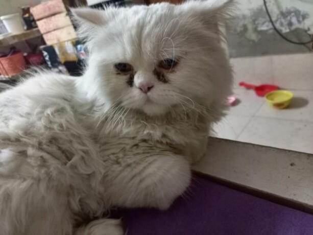 punch-face-persian-cat-big-2