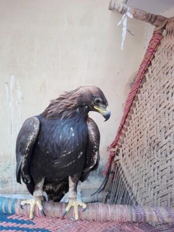 golden-eagle-big-1