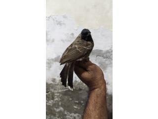Bulbul sparrow