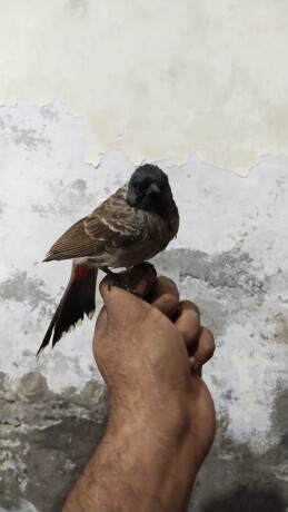 bulbul-sparrow-big-1
