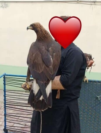 golden-eagle-for-sale-big-3