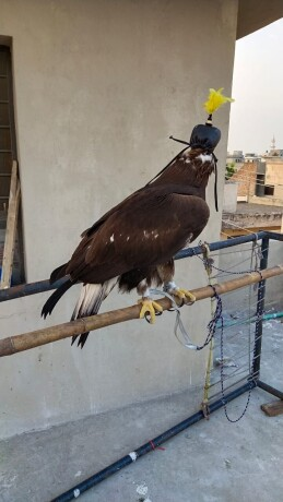 golden-eagle-for-sale-big-0