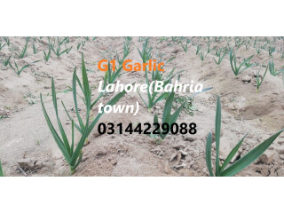 G1 Garlic / Elephant Garlic for sale and booking