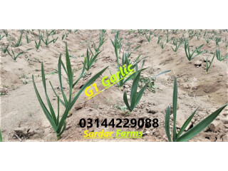 G1 Garlic / Elephant Garlic for sale and booking in Lahore