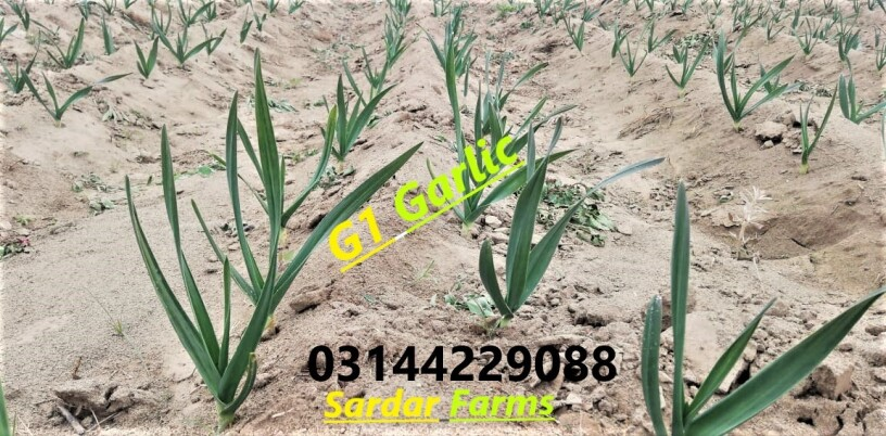 g1-garlic-elephant-garlic-for-sale-and-booking-in-lahore-big-0