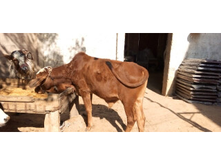 Cows for sale Jori achi breed me hn