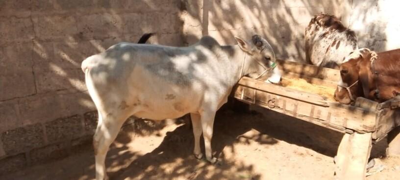 cows-for-sale-jori-achi-breed-me-hn-big-1